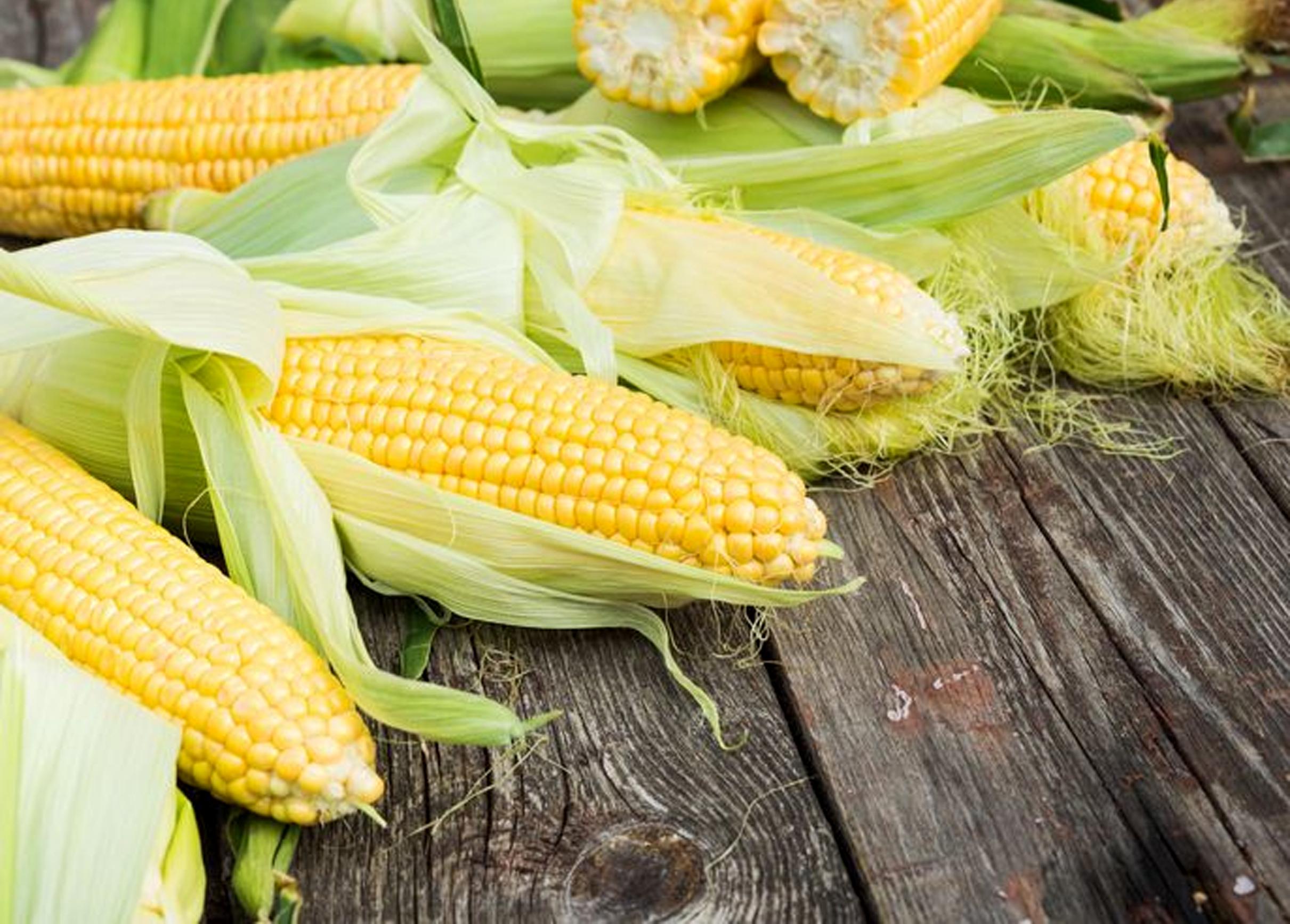cara menanam jagung manis di polybag