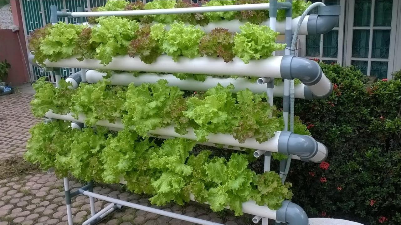 cara menanam sayuran hidroponik dengan paralon