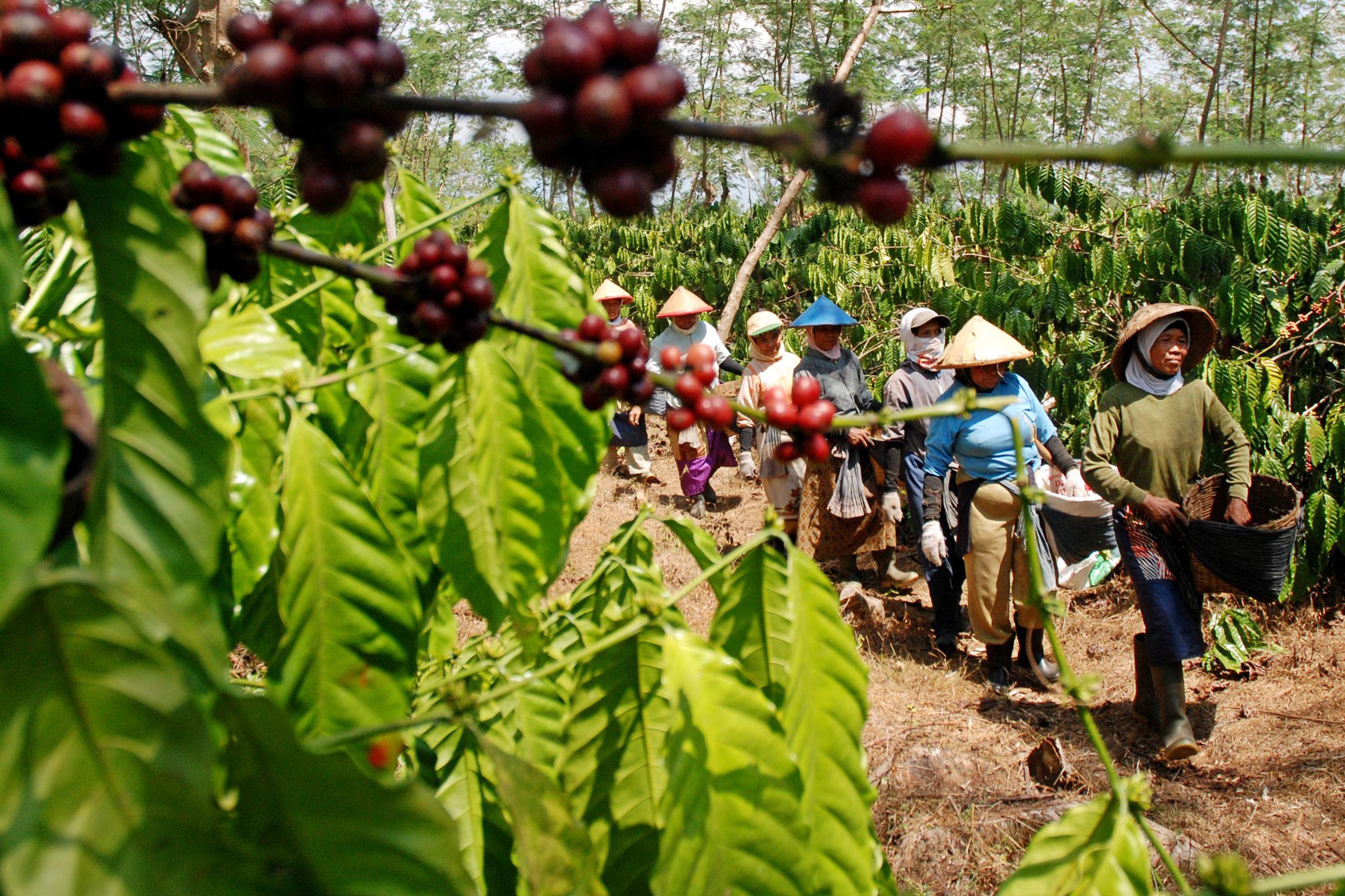 Perkebunan di Indonesia Dan Letaknya