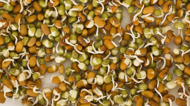 Pemupukan Kacang Hijau