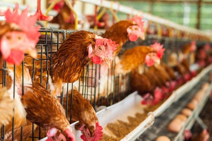 Penyebab Kegagalan Bisnis Ayam Petelur