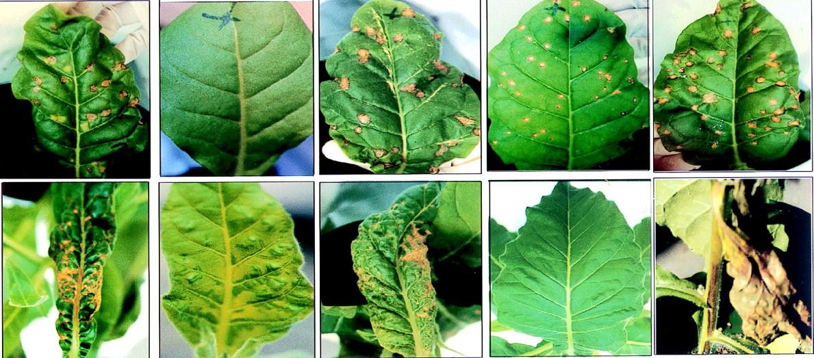 Penyebab Penyakit Pada Tumbuhan