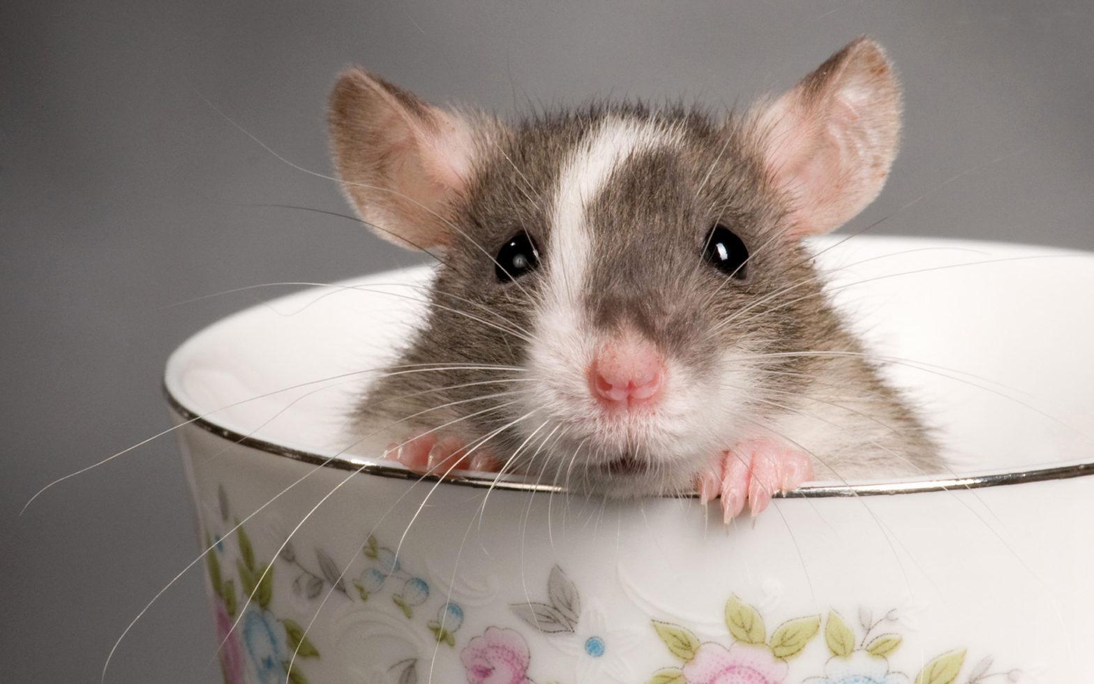 cara membasmi tikus curut