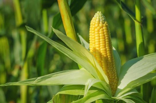 cara menanam jagung agar berbuah besar