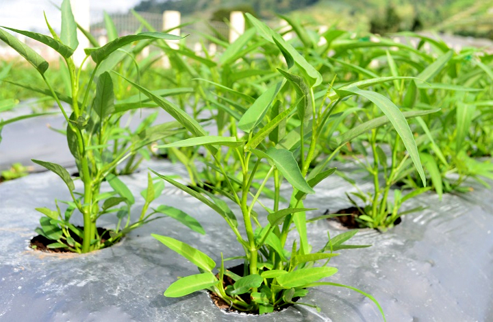 Cara Menanam Sayuran Kangkung