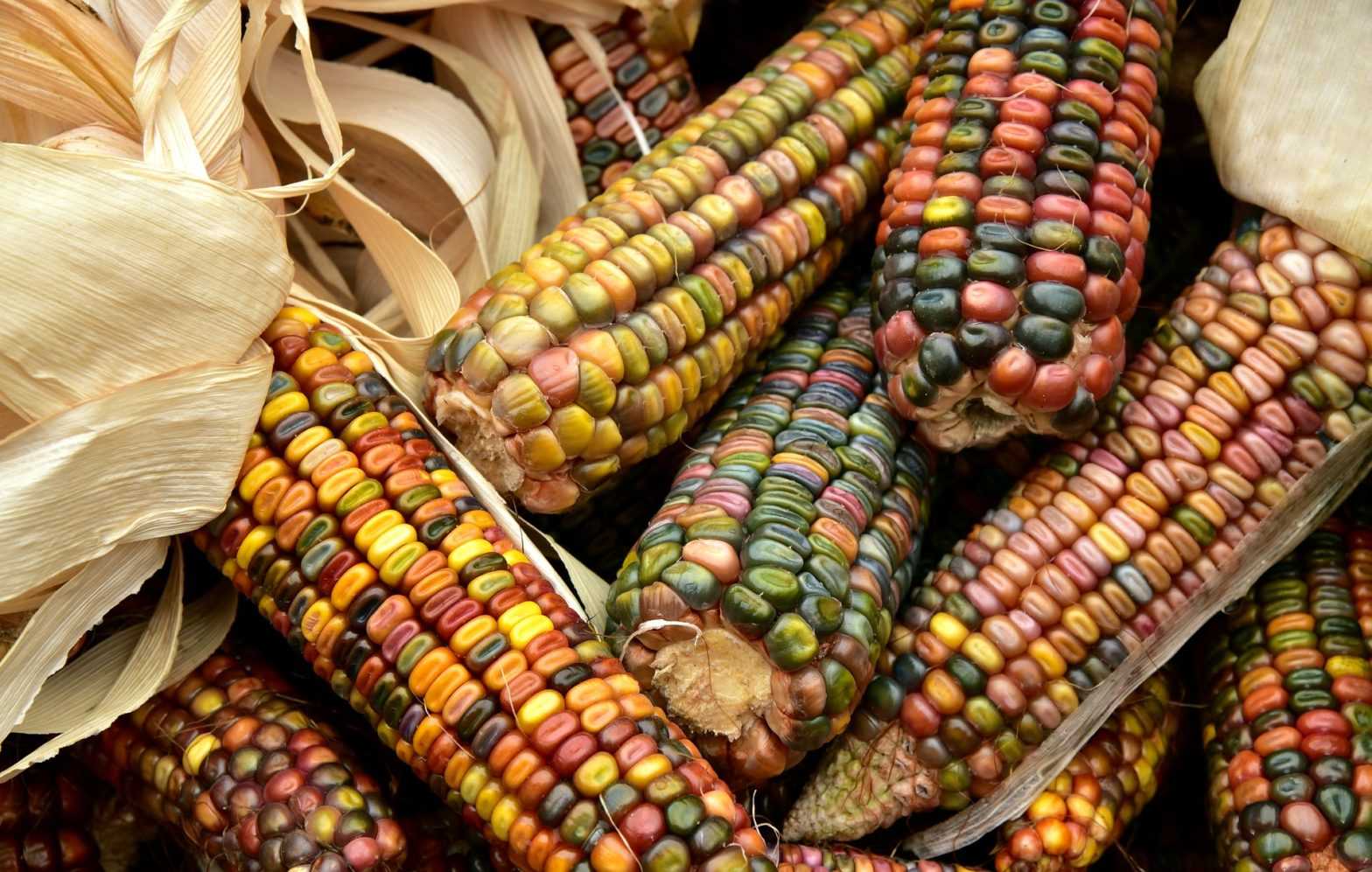 cara menanam jagung dari biji