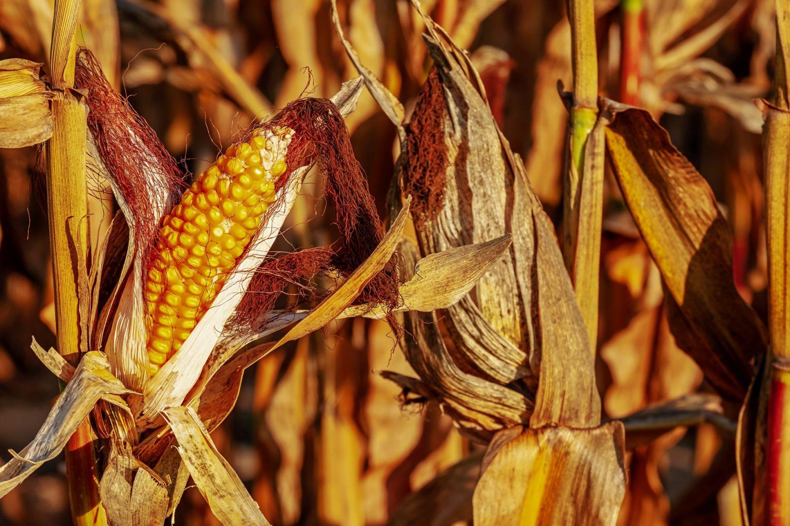 budidaya jagung pipil