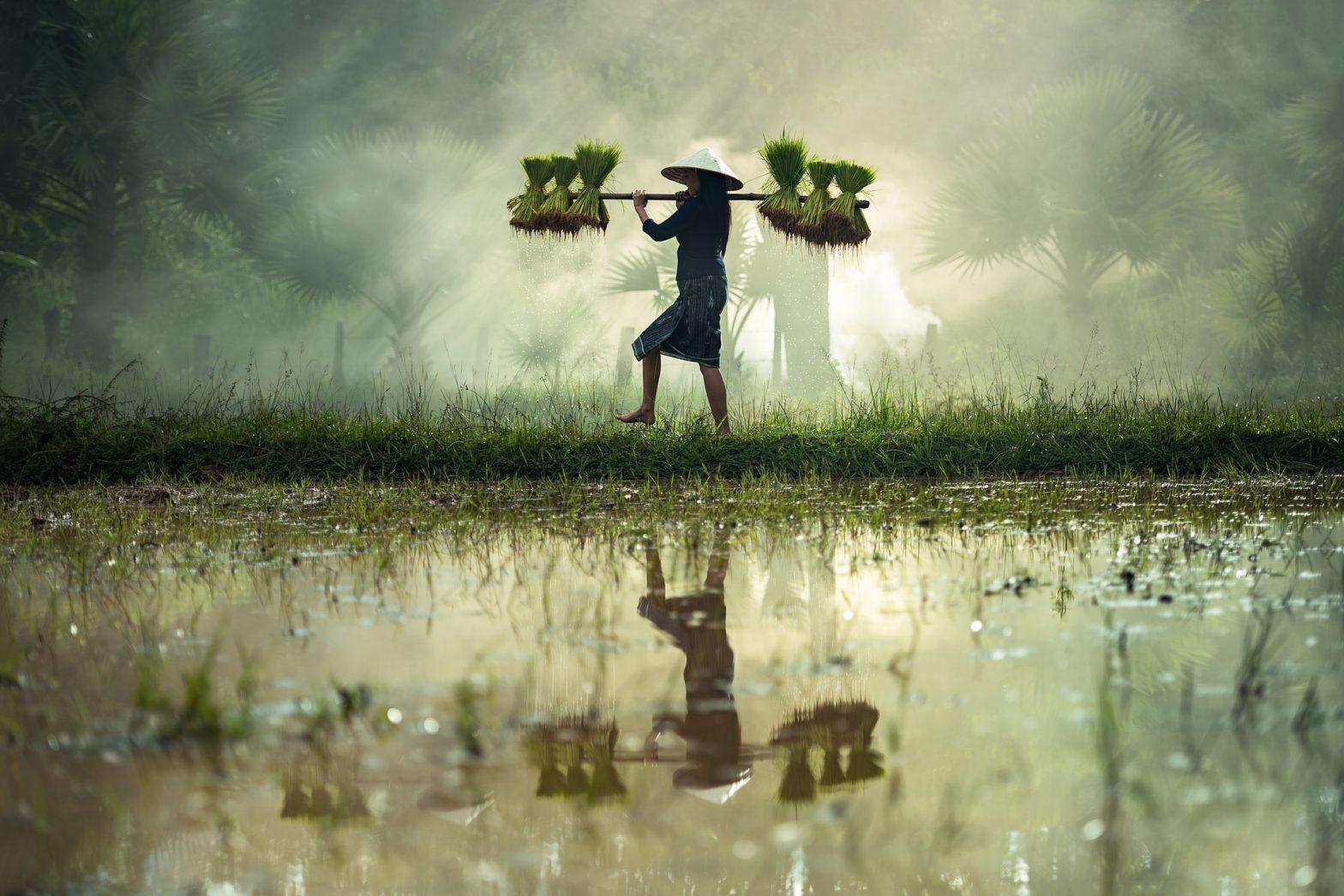 cara merawat tanaman padi sawah