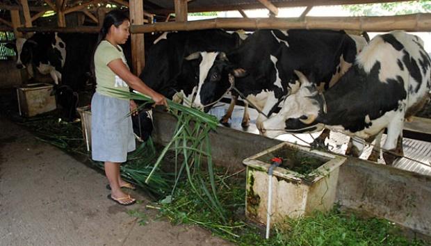 cara membuat pakan sapi perah