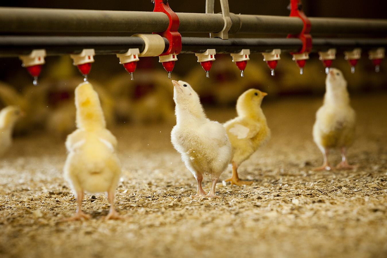 cara memelihara ayam