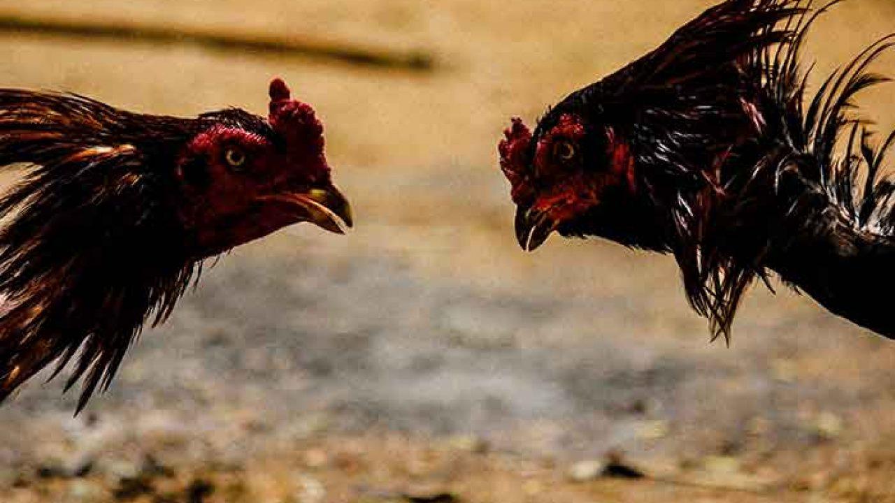 cara melatih ayam aduan muda