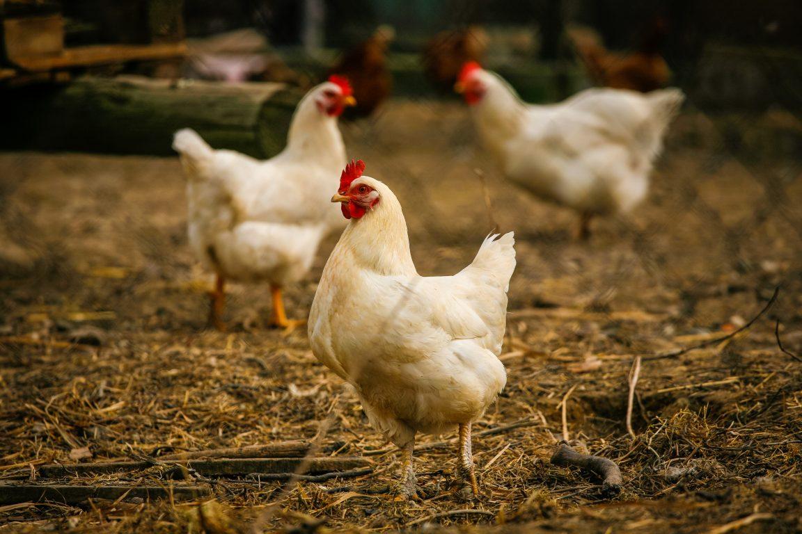 cara memelihara ayam di rumah