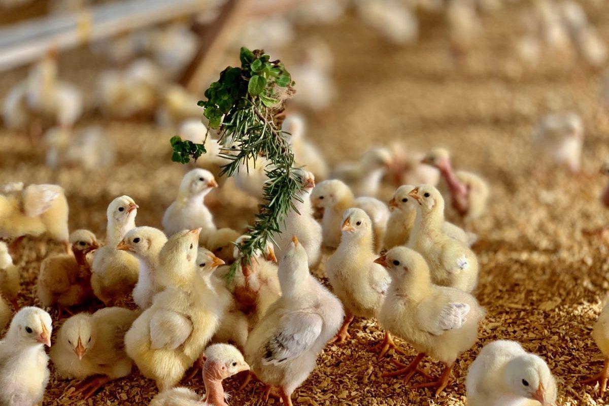 memelihara ayam