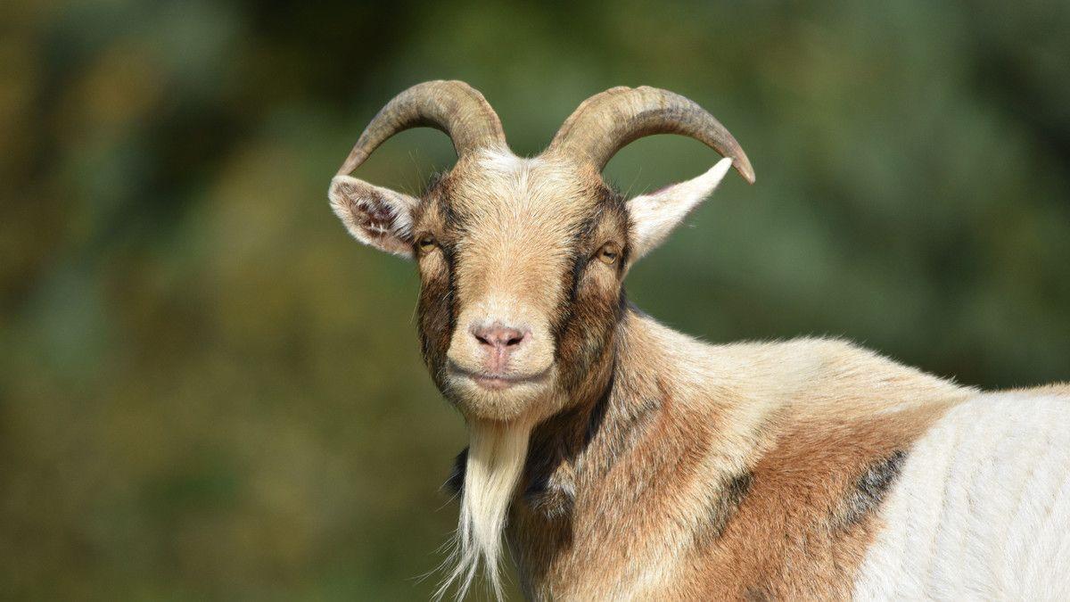 vitamin kambing biar cepat besar
